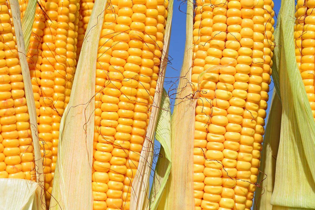 terrapapers.com_bio corn-field