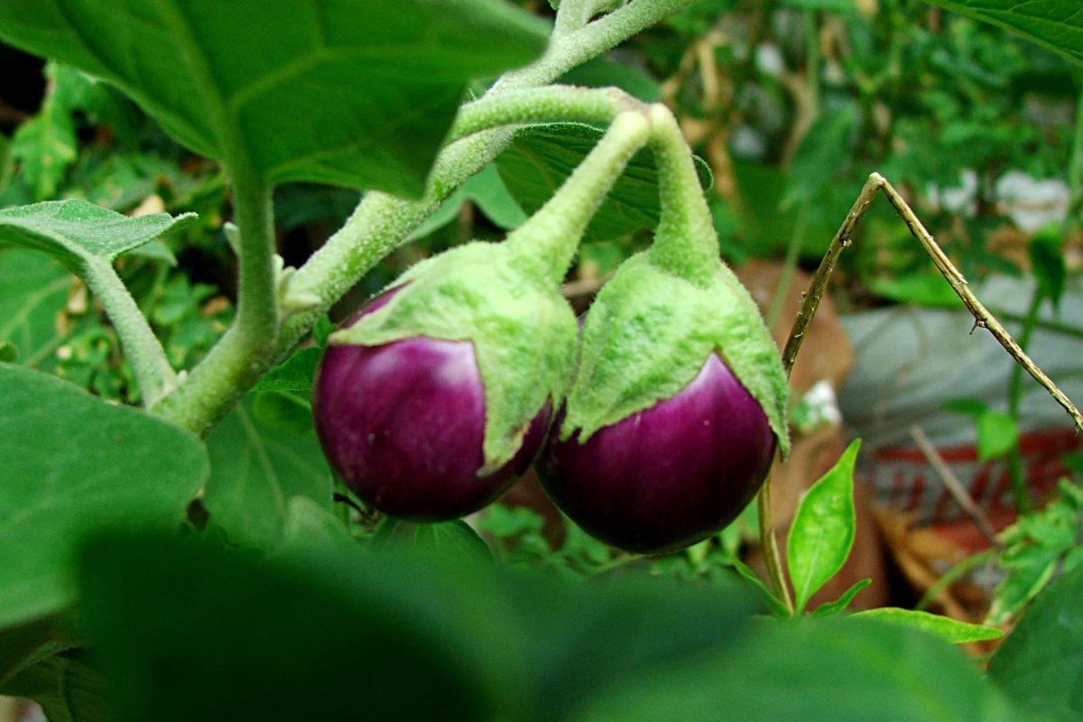 terrapapers.com eggplant (1)
