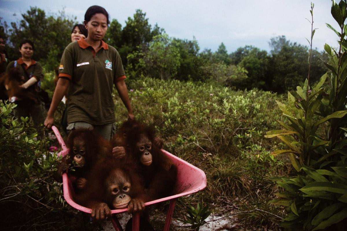 Orangutan-Resuce 1
