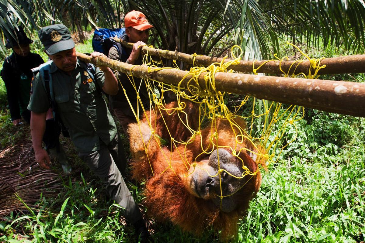 Orangutan-Resuce