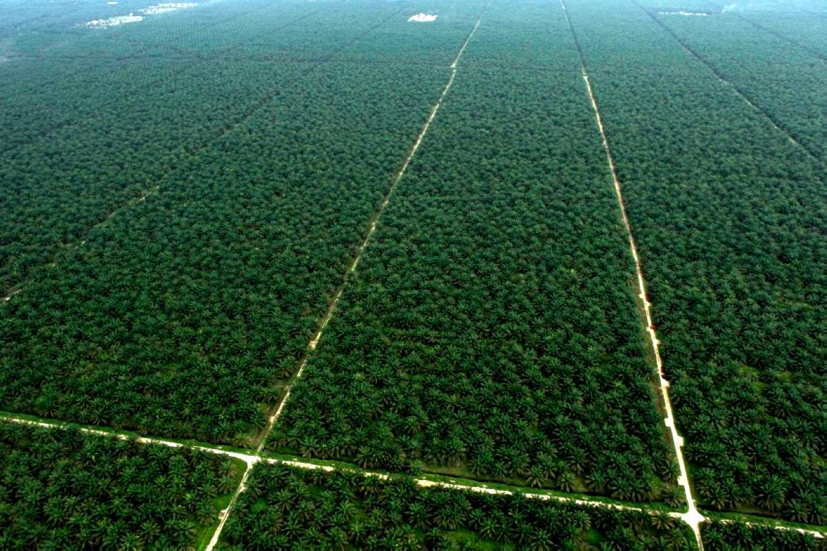 An aerial view shows a palm oil plantation in Indonesia's Jambi province