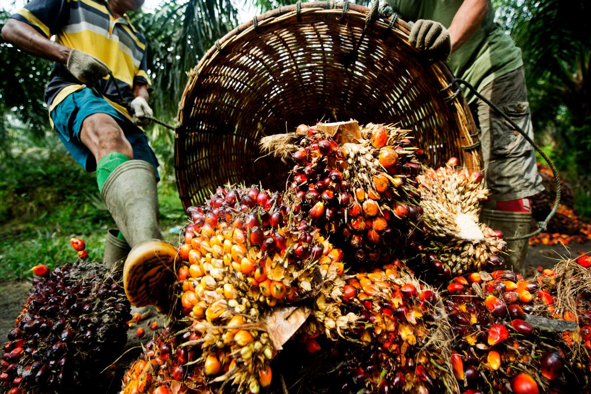 terrapapers.com- palm oil