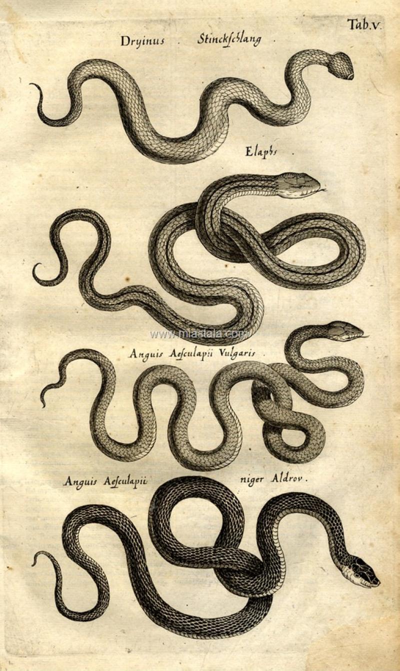 terrapapers.com-Serpentibus και Draconibus 1653 -Ph.D. Joannes Jonstonus (7)