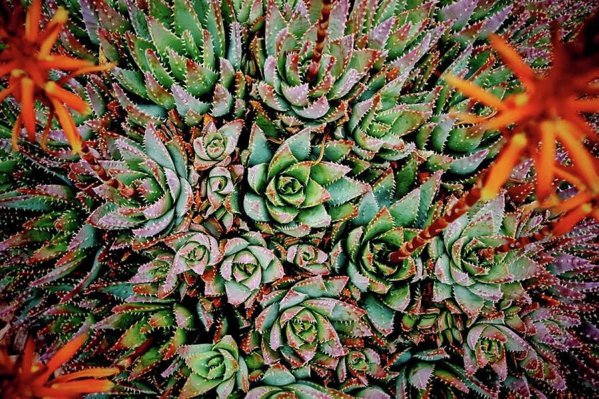 Aloe Arborescens - azione anticancro (14)