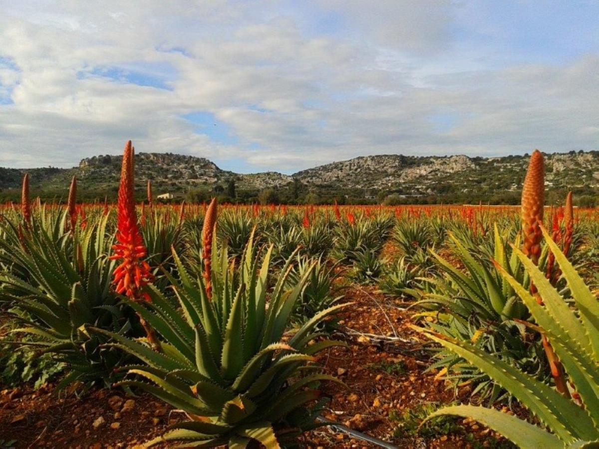 Aloe Arborescens - azione anticancro (21)