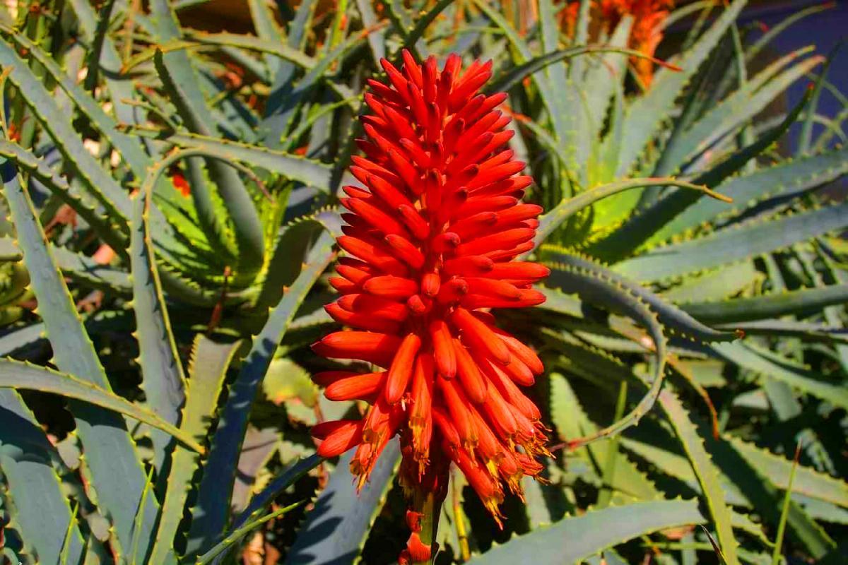 Aloe Arborescens - azione anticancro (5)